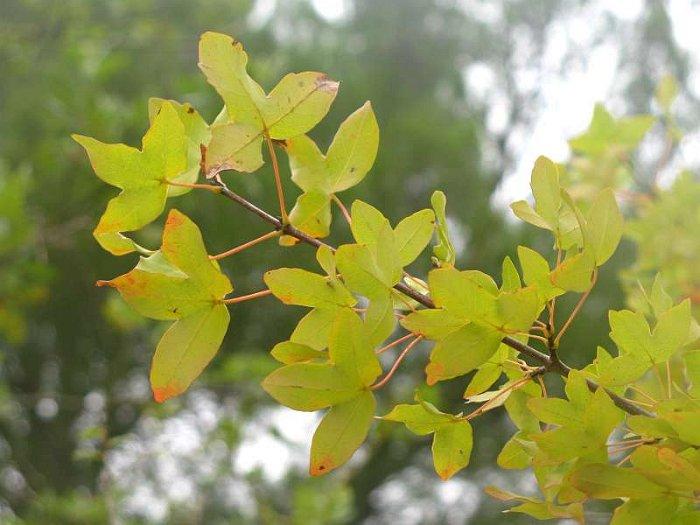 Jardinería - Página 5 Acer%20monspessulanum%20%282%29
